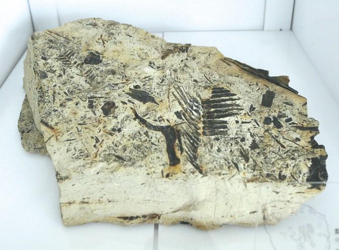 남극 장보고과학기지 주변에서 발견한 쥐라기 식물의 화석 - 극지연구소 제공